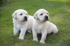 Junger süßer Labrador-Welpe Lizenzfreie Stockfotografie