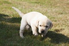 Junger süßer Labrador-Welpe Stockfotografie