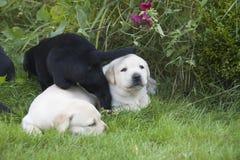 Junger süßer Labrador-Welpe Stockbilder