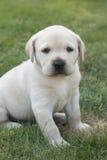 Junger süßer Labrador-Welpe Lizenzfreies Stockbild