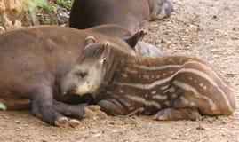 Junger südamerikanischer Tapir Lizenzfreie Stockfotografie
