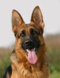 Junger Schäferhund Stockfoto