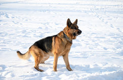 Junger Schäferhund Lizenzfreies Stockbild
