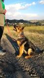 Junger Schäferhund Lizenzfreie Stockfotografie