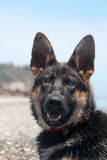 Junger Schäferhundhund Lizenzfreie Stockbilder
