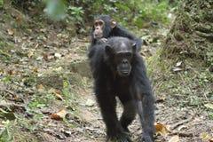 Junger Schimpanse auf der Mutter Lizenzfreies Stockbild
