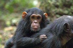 Junger Schimpanse auf der Mutter Lizenzfreies Stockfoto