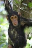 Junger Schimpanse auf einem Baum Stockfoto