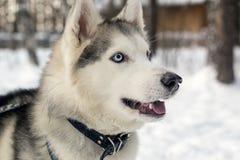 Junger Schlittenhund Blaue Augen Stockfotografie