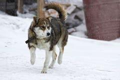 Junger Schlittenhund im Winter Lizenzfreie Stockfotos