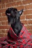 Junger schottischer Terrier auf einem Schottenstoffstoff stockfotos