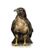 Junger Schwarz-chested Bussard-Adler Lizenzfreies Stockfoto