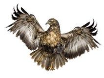 Junger Schwarz-chested Bussard-Adler Stockfotos