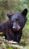 Junger schwarzer Bär Stockfotos