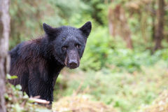 Junger schwarzer Bär Lizenzfreie Stockfotos