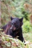 Junger schwarzer Bär Lizenzfreie Stockfotografie