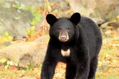 Junger schwarzer Bär im Herbst Stockbilder