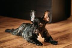 Junger schwarzer französische Bulldoggen-Hundewelpe Sit On Laminate Floor Indoor lizenzfreie stockfotos