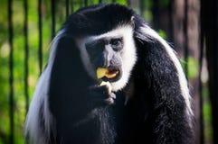 Junger schwarzer Gibbon, der Banane isst Stockfoto