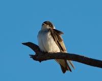 Junger schwarzer Kappenvogel lizenzfreies stockbild