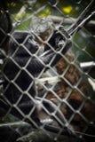 Junger schwarzer Makaken, der mit Gummireifenseil, an Ragunan-Zoo, Jakarta, Indonesien spielt stockfoto