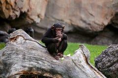 Junger schwarzer mankey Schimpanse, der auf einem großen Baum sitzt Stockfoto
