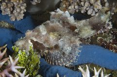 Junger Scorpionfish Lizenzfreies Stockfoto