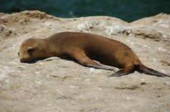 Junger Seelöwe Stockfotos