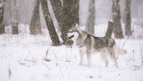 Junger Sibirier-Husky Dog Running Outdoor In-Winter Snowy-Wald stock footage