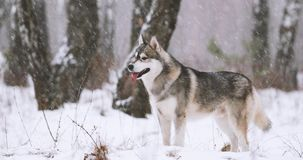 Junger Sibirier-Husky Dog Running Outdoor In-Winter Snowy-Wald stock video footage