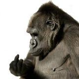 Junger Silverback Gorilla Lizenzfreie Stockfotografie