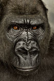 Junger Silverback Gorilla Lizenzfreie Stockfotos