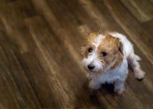 Junger sitzender und wartender Steckfassungsrussel-Terrierwelpe lizenzfreies stockbild