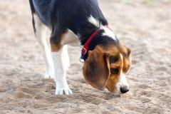 Junger Spürhund Stockfoto