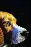 Junger Spürhund lizenzfreies stockbild