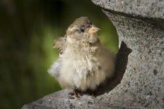 Junger Spatz, der auf einer Steinskulptur sitzt Lizenzfreie Stockfotos