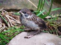 Junger Spatz, der auf Stein, Vogelnahaufnahme auf undeutlichem Hintergrund sitzt, Passant domesticus, Stockfoto
