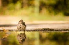 Junger Spatz, der ein Bad in der Pfütze des Regenwassers hat Stockfoto