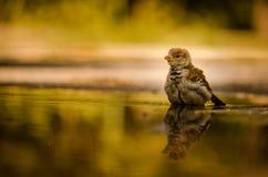 Junger Spatz, der in der Pfütze des Regenwassers sich reflektiert Stockbild