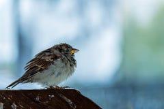 Junger Spatz untersucht weg den Abstand, ein alleiner Vogel auf dem hölzernen Zähler stockbild
