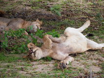 Junger spielerischer weiblicher Löwe Lizenzfreie Stockfotografie