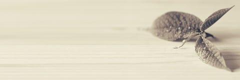 Junger Sprössling, Blatt auf hölzernem Hintergrund Hölzerner Hintergrund Schwarzweiss-Hintergrund, Sepia Beschaffenheit Stockfotografie
