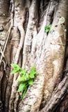 Junger Sprössling, der durch Wurzeln des alten Baums wächst. Lizenzfreies Stockfoto