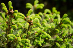 Junger Sprössling der Fichte Frische junge Grüntrieb in der selektiven Weichzeichnung des Frühjahres Stockfotografie
