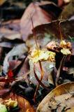 Junger Sprössling von Dipterocarpus spp auf tropischem Regenwald von Borneo Baum-Ausbreitung von Dipterocarpus spp lizenzfreie stockfotos