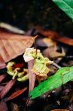 Junger Sprössling von Dipterocarpus spp auf tropischem Regenwald von Borneo Baum-Ausbreitung von Dipterocarpus spp stockbild