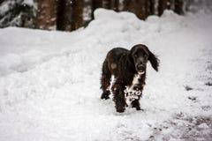 Junger Springercockerspaniel im Schnee, Cortina D ` Ampezzo, Italien lizenzfreie stockfotografie