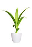 Junger Sprössling des Yuccas eine Topfpflanze lokalisiert über Weiß Lizenzfreie Stockfotos
