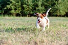 Junger Steckfassungsrussell-Terrierhund in einer schönen Landschaft auf einer Wiese Stockfoto