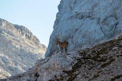Junger Steinbock in den Bergen stockfoto
